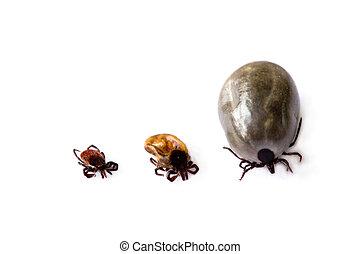 Different ticks - Three different ticks on white background