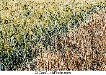 Different varieties of wheat 2