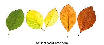 differente, set, foglie, colori, cadere, faggio