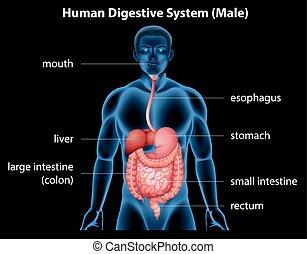 digestif, système, humain