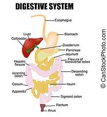 digestiv system