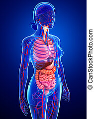 Digestive and circulatory system of female body - Digestive...