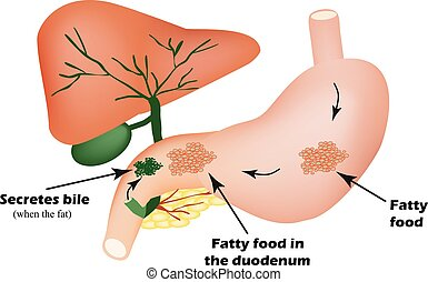 Digestive organs. Digestive apparatus. Bile for the digestion of fatty foods. Infographics.
