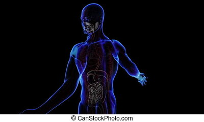 Digestive System - All human body systems. Transition body -...