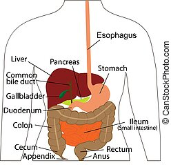 Digestive system chart. Digestive organs in a human body. Vector illustration of human body Physiology