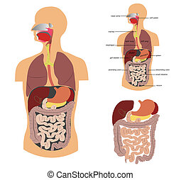 Digestive system, detailed medical illustration.