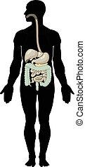 Digestive system - Vector illustration of digestive system....