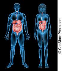 Digestive system - Illustration of the digestive system