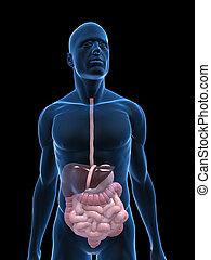 digestive system - 3d rendered illustration of a body shape...