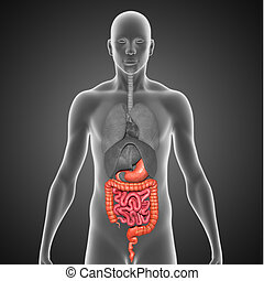 Digestive system - The large intestine is the last part of...