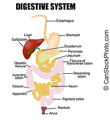 Digestive System (useful for education in schools and clinics ) - vector illustration