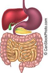 digestivo, alimenticio, canal, sistema