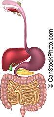 digestivo, alimenticio, canal, tracto