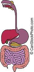 digestivo, entranha, diagrama, área, gastrointestinal