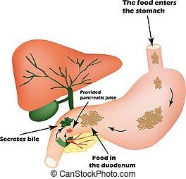 digestivo, organs., digestivo, apparatus., bilis, a, digesto, comida., aislamiento, de, pancreático, jugo, para, pirevarivaniya, comida., yo