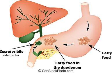 digestivo, organs., digestivo, apparatus., bilis, para, el, digestión, de, gordinflón, foods., infographics.
