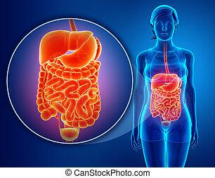 digestivo, sistema