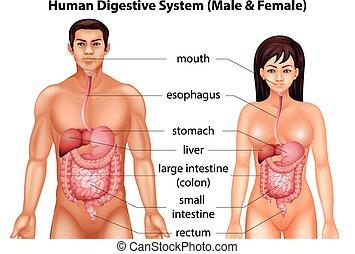 digestivo, Sistema, humano