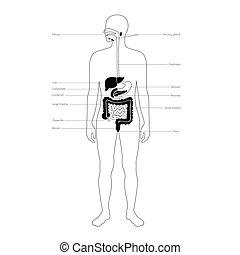 digestivo, vetorial, isolado, ilustração, sistema
