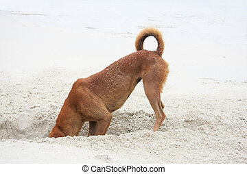 Digging dog - Dog digging a hole on the beach.