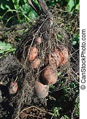 Digging potatoes - potato plant with tubers digging up from...