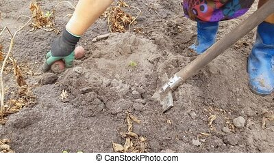 digging potatoes with a shovel - a woman in rubber boots is...