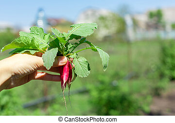 Digging up fresh radish in the garden