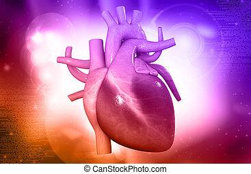 human heart - digital illustration of a human heart in...