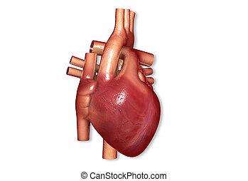 human heart - Digital illustration of human heart in digital...