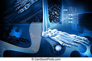 Leg bone - Digital illustration of Leg bone in colour ...