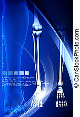 Leg bone - Digital illustration of Leg bone in colour ...