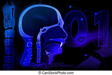 Pharynx - Digital illustration of Pharynx in colour ...