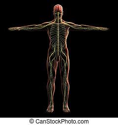 Digital model of nervous system, 3d rendering, black background