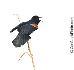 Male Red-winged Blackbird - Digital Painting of Male Red-...