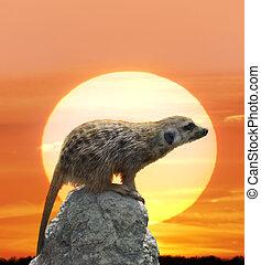 Meerkat Against Sunset - Digital Painting Of Meerkat Against...