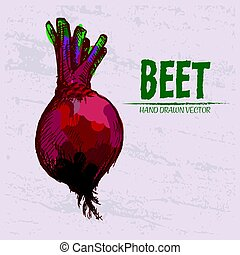 Digital vector detailed red beet hand drawn