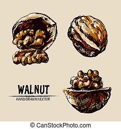 Digital vector detailed walnut hand drawn