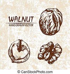 Digital vector walnut hand drawn illustration