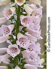 digitale, purpurea, fleur, fleur