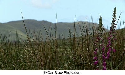 Digitalis Flowers In Front Of Mountain - Steady, medium...