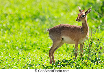 Dik dik antelope in Tarangire national park in Tanzania