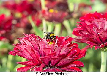 Diligent bumblebee - Flowers of zinnia (Zinnia hybrida) with...