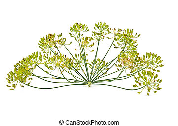 A plant is a dill, it is isolated on a white background