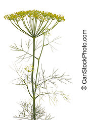 dill, (anethum, graveolens)