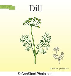 Dill, aromatic kitchen herb