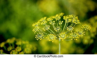 dill close-up