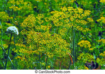 Dill color close up