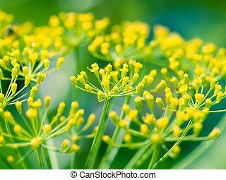 dill, (fennel), blomma