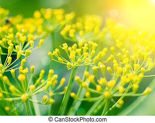 dill, (fennel), blomma, med, solljus
