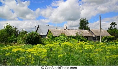 Dill grows in garden and in front of rural house in Russia